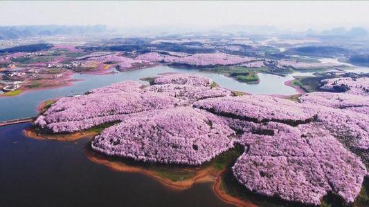 Blütenmeere läuten Frühling in China ein