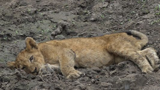 Mysteriöse Krankheit befällt mehrere Löwenjunge