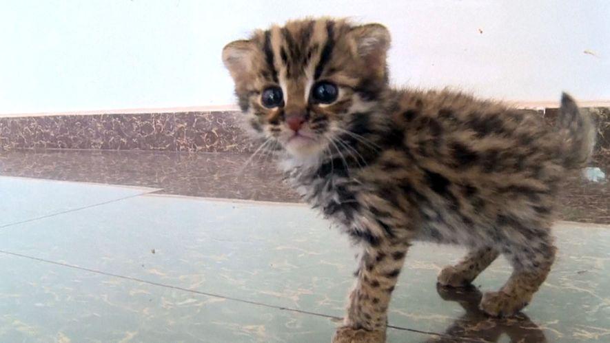 Gerettetes Kätzchen entpuppt sich als Bengalkatze