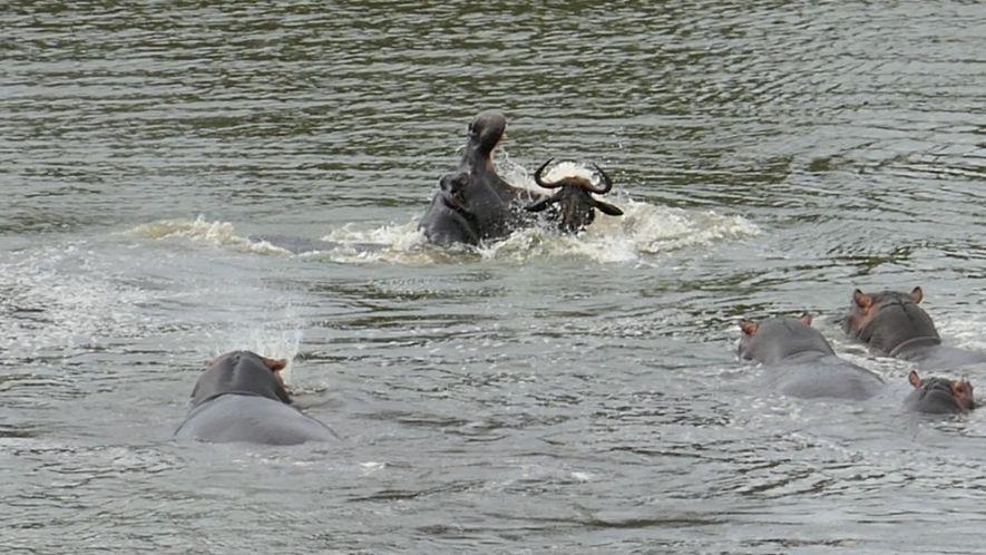 Gnu, Flusspferd, Krokodil: Streit am Wasserloch