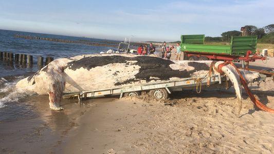 Woran starb der Buckelwal in der Ostsee?