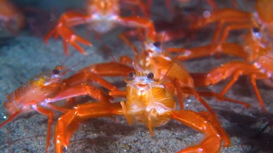 Winzige Krebstiere überschwemmen die Strände Kaliforniens