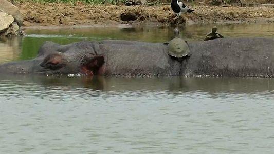 Sonnenbad auf einem Flusspferd