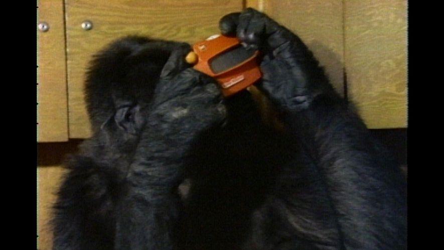Koko der Gorilla nutzt Gebärdensprache (1981)