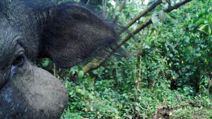 Seltene Aufnahmen des geheimnisvollen Riesenwaldschweins