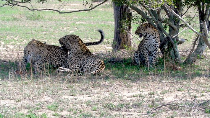 Leopardenschwestern teilen sich ein Männchen