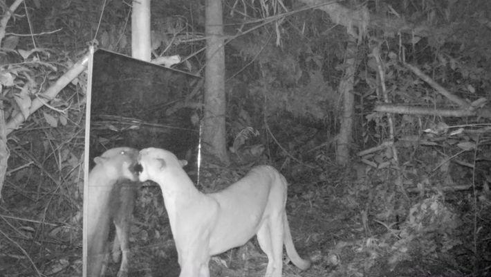 Amazonastiere entdecken ihr Spiegelbild