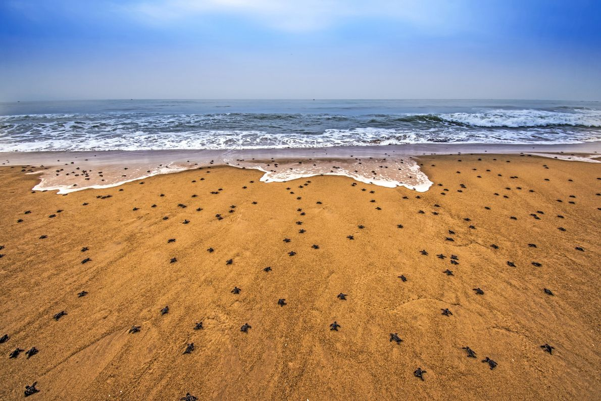 Every year, millions of tiny, baby olive ridley sea turtles hatch on Rushikulya Beach in India. ...