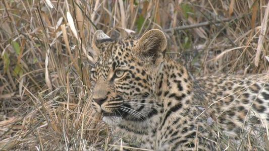 Leoparden-Kinderstube