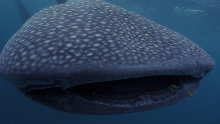 5 große Haie in unseren Meeren
