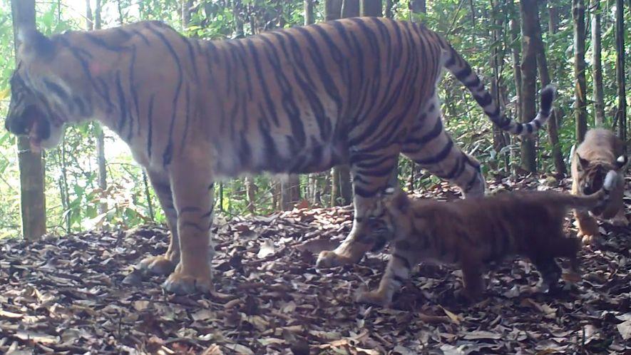 Seltener Tiger-Nachwuchs macht Hoffnung