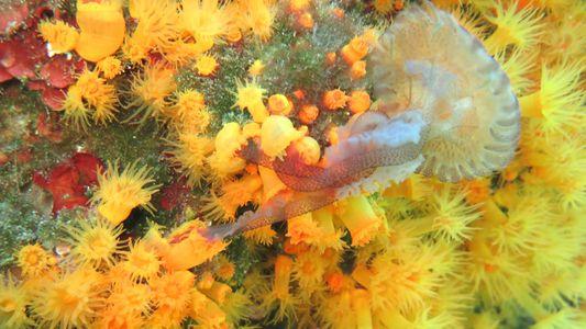 Koralle frisst Qualle