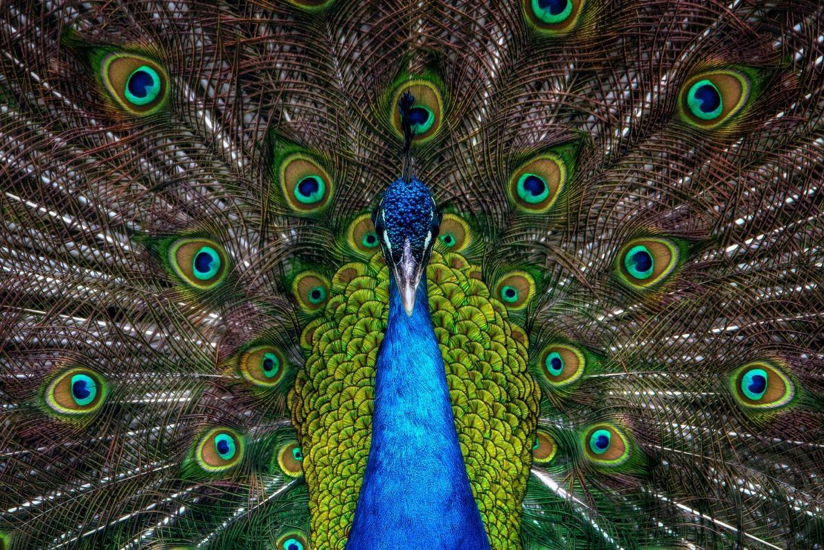 Ein Pfau fächert seine Schwanzfedern auf, die für ihre intensiven, schimmernden Farben bekannt sind. Die Zurschaustellung ...