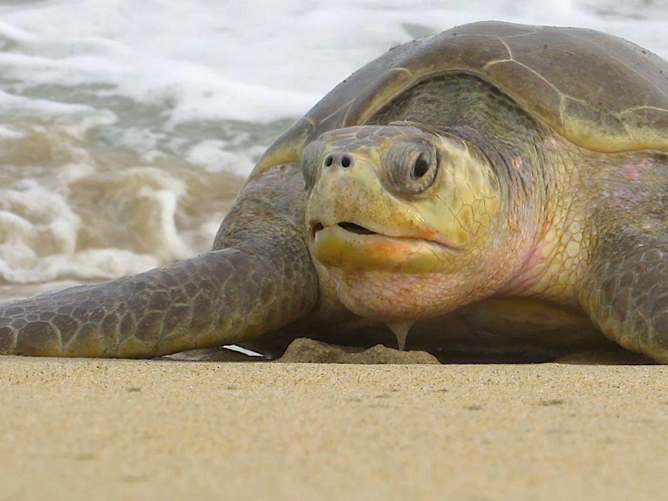 300 gefährdete Schildkröten tot im Meer entdeckt