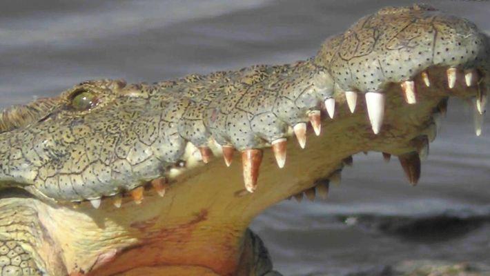 Die Krokodile des Mara