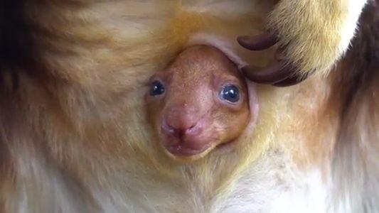 Kleines Baumkänguru wirft ersten Blick aus dem Beutel
