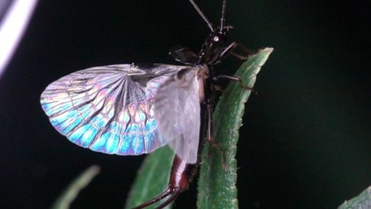 Origami von Mutter Natur: Die Flügel der Ohrwürmer