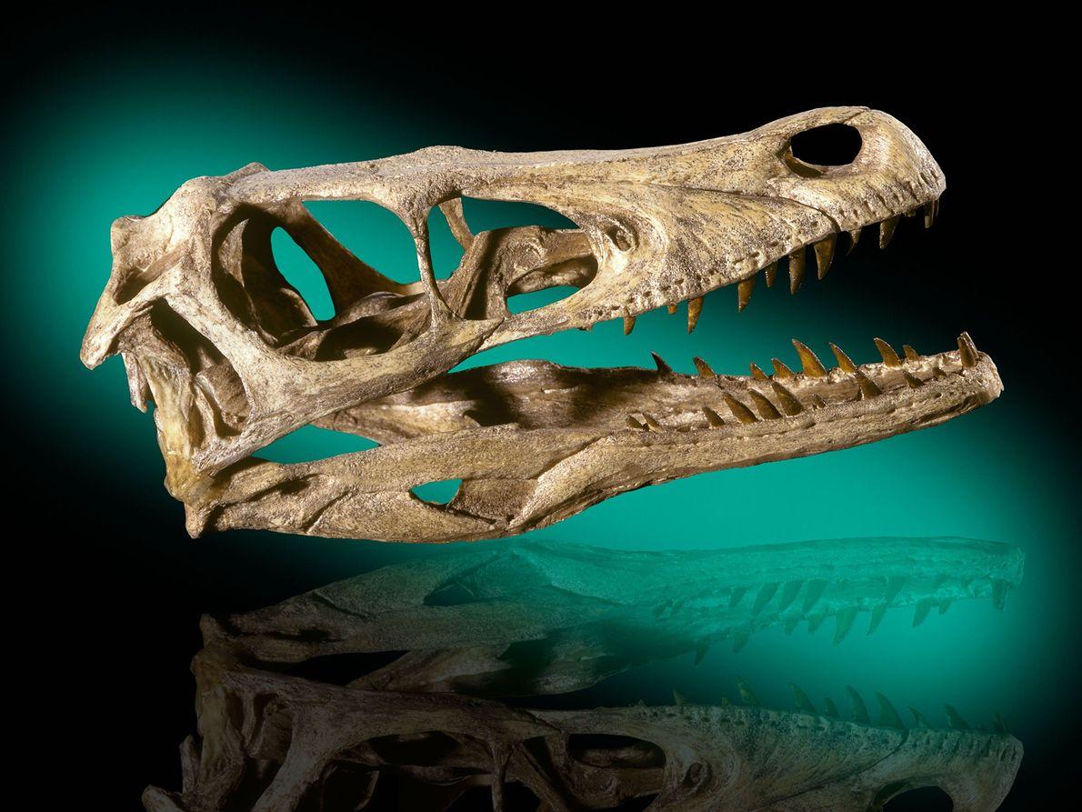 Dieser Schädel eines Velociraptor mongoliensis stammt aus den kreidezeitlichen Formationen in der mongolischen Wüste Gobi. Diese ...
