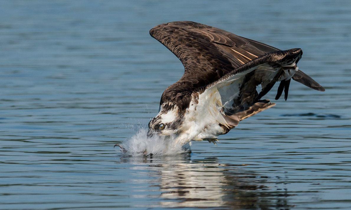 Ein Fischadler spreizt seine Krallen und schließt seine Nickhaut im letzten Moment, bevor er ins Wasser ...