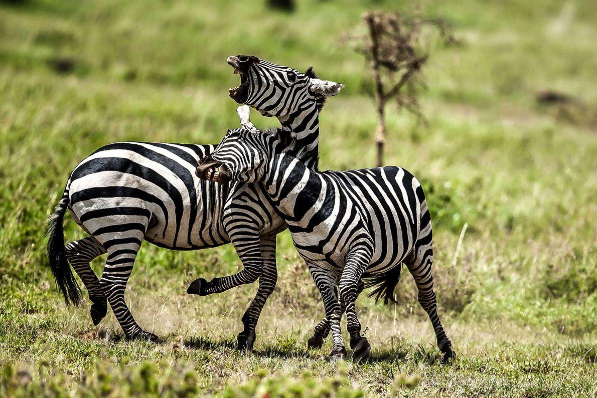 Zwei kämpfende Zebras
