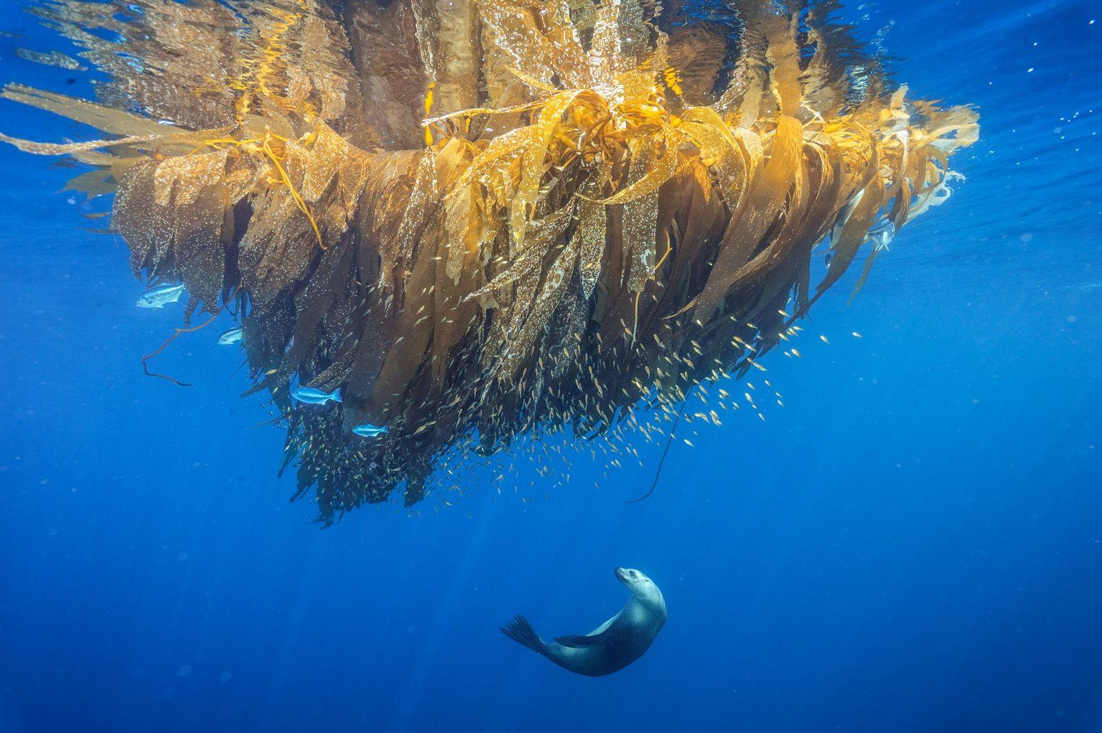 Ein Kalifornischer Seelöwe jagt in einem Kelp-Feld am Cortes Bank, einem Unterwasserberg vor San Diego, nach ...