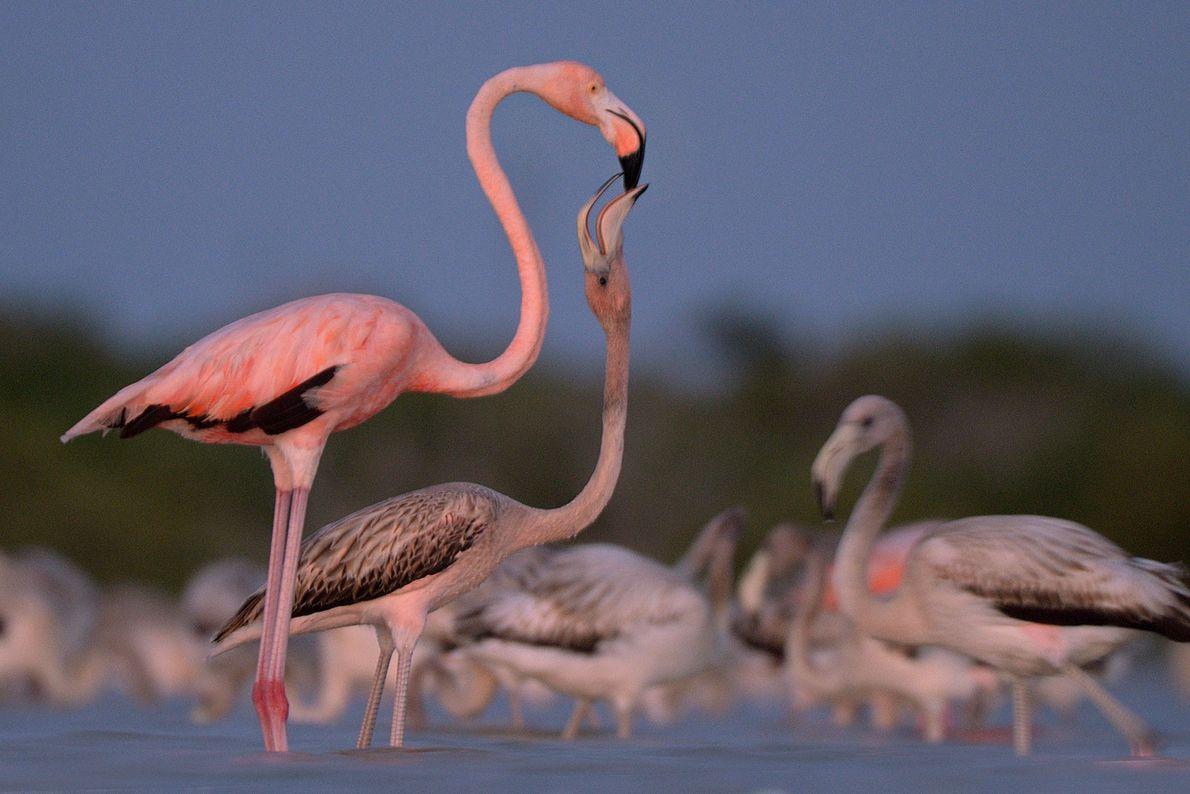 Flamingos. Ria Lagartos Bioshere Reserve, Yucatán, Mexiko