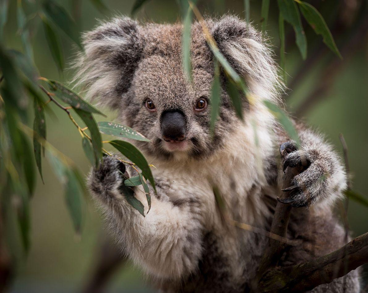 Ein Koala in Australien.