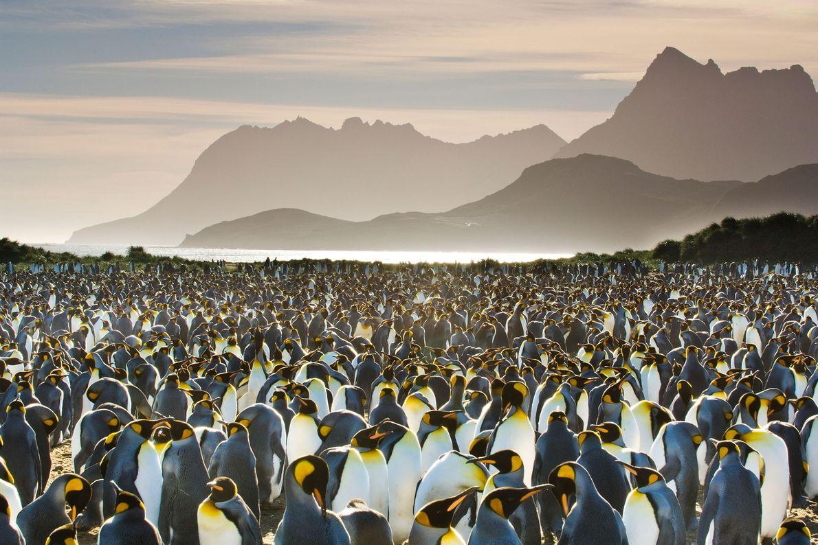 Auf Südgeorgien hat sich eine Kolonie von Königspinguinen einen Strandabschnitt erobert.