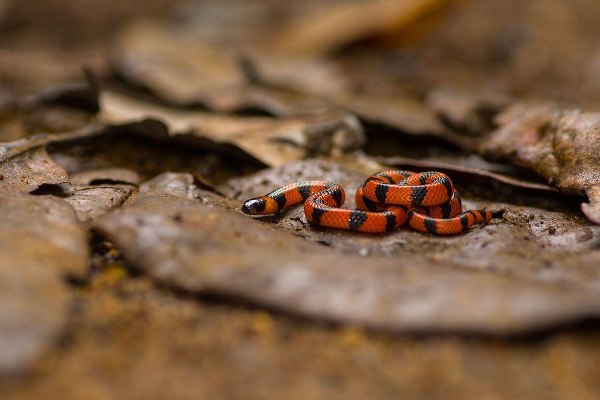 Rot und schwarz gekringelte Schlange