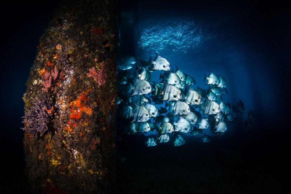 Atlantischer Spatenfisch. Palm Beach Isles, Florida, USA.