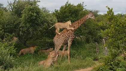 Löwenrudel greift ausgewachsene Giraffe an