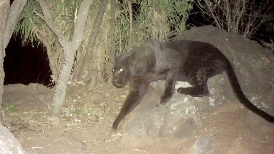 Kamerafallen zeigen schwarzen Leoparden in Kenia