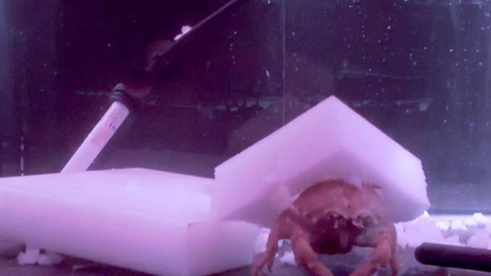 Krabbenmode: Schutzhelmchen aus Schwämmen