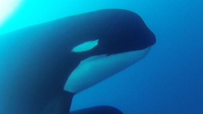 Forscher filmen vermutlich neue Art von Orcas