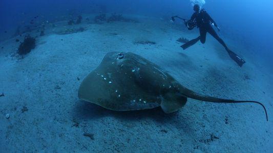 Erste Studie zu den größten Meeresrochen der Welt