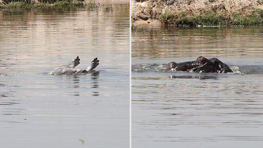 Trauert diese Flusspferdmutter um ihr Jungtier?
