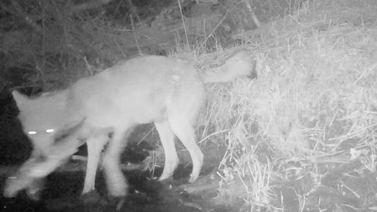 Voyageurs-Wölfe in den USA suchen sich ungewöhnliche Beute