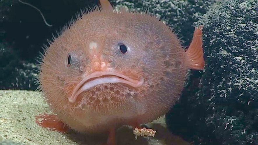 Tiefseefisch hält bis zu 4 Minuten den Atem an