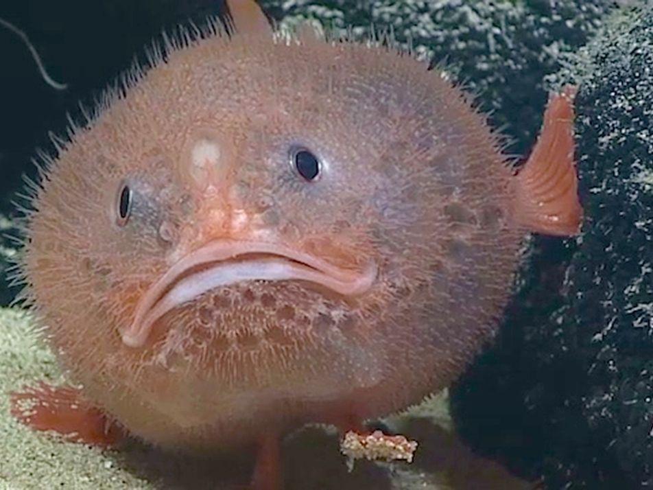 VIDEO | Tiefseefisch hält bis zu 4 Minuten den Atem an