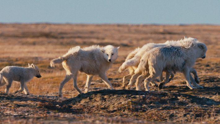 Polarwolf-Welpen auf ihrem ersten Ausflug in die Tundra