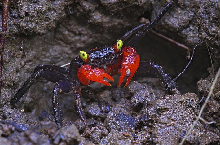 Die Krabbe Geosesarma hagen besitzt rote Scheren und gelbe Augen – Farben, die zur Kommunikation mit ...