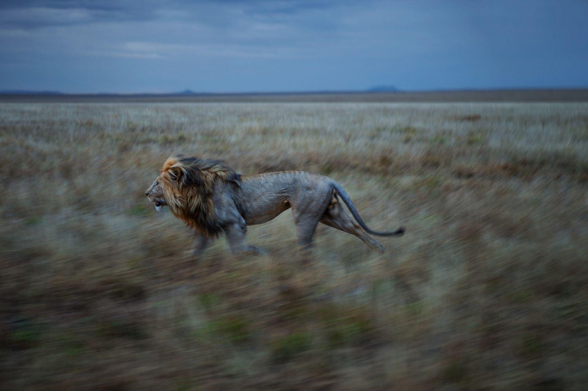 Bild eines Löwen