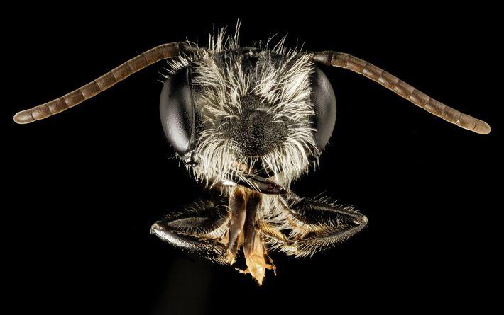 Diese männliche Andrena perplexa wurde am 16. Mai in Maryland gefangen.