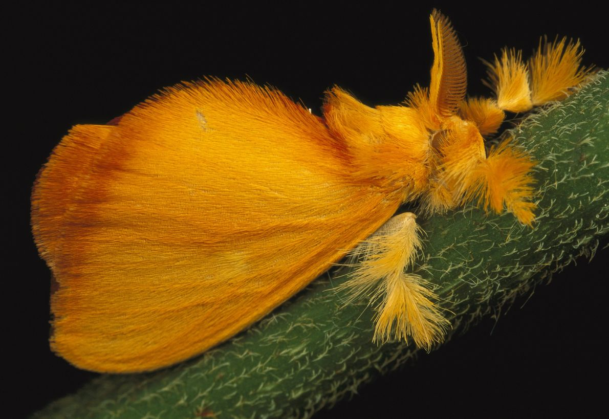 Dieser Falter der Art Acraga coa ist hauptsächlich in Mittelamerika anzutreffen. Die Tiere durchlaufen eine spektakuläre ...