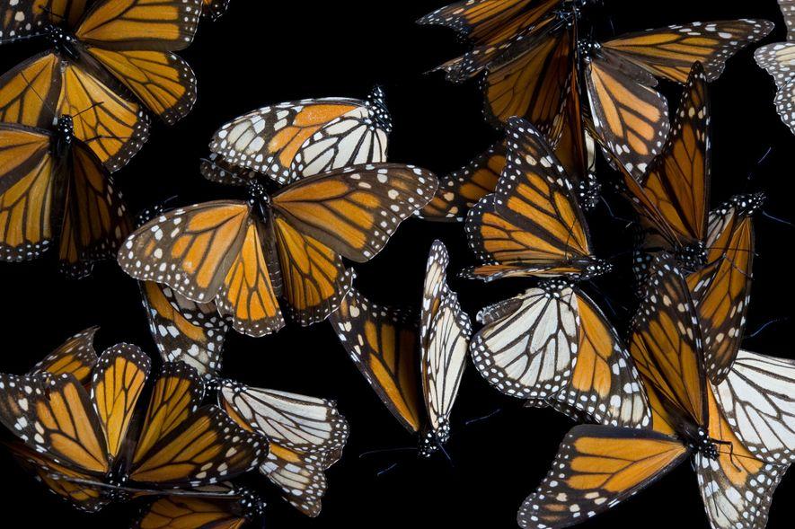 Die Populationen der Monarchfalter sind rückläufig und die Wissenschaftler können nicht herausfinden, was genau die Ursache ist.