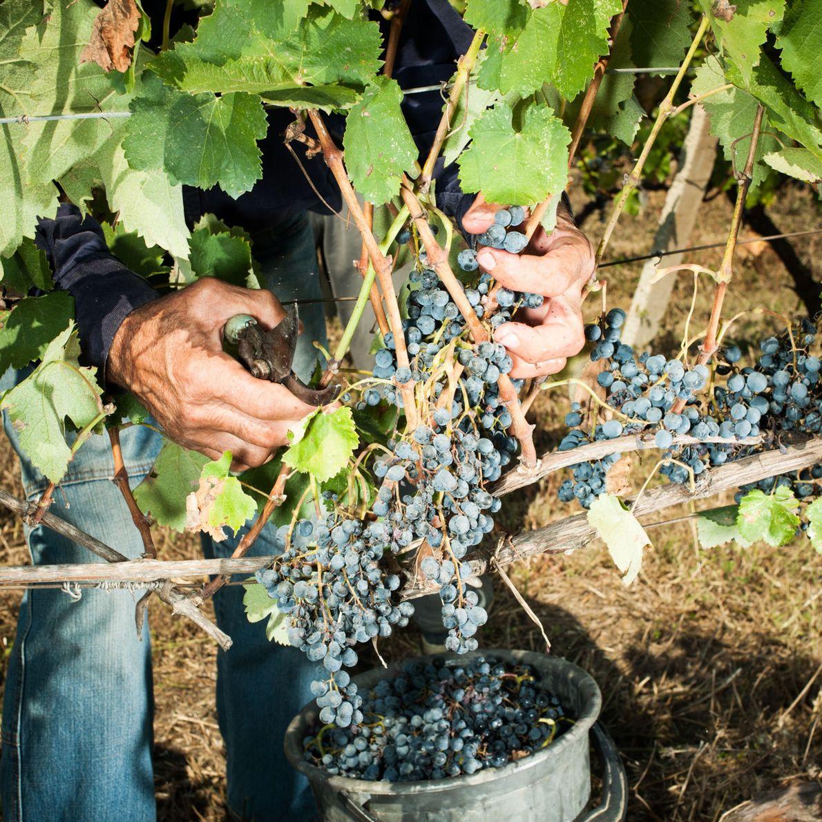 Die Weinrebe stammt womöglich vom Fuß des Kaukasus in Georgien, wo es mehr als 500 einheimische ...