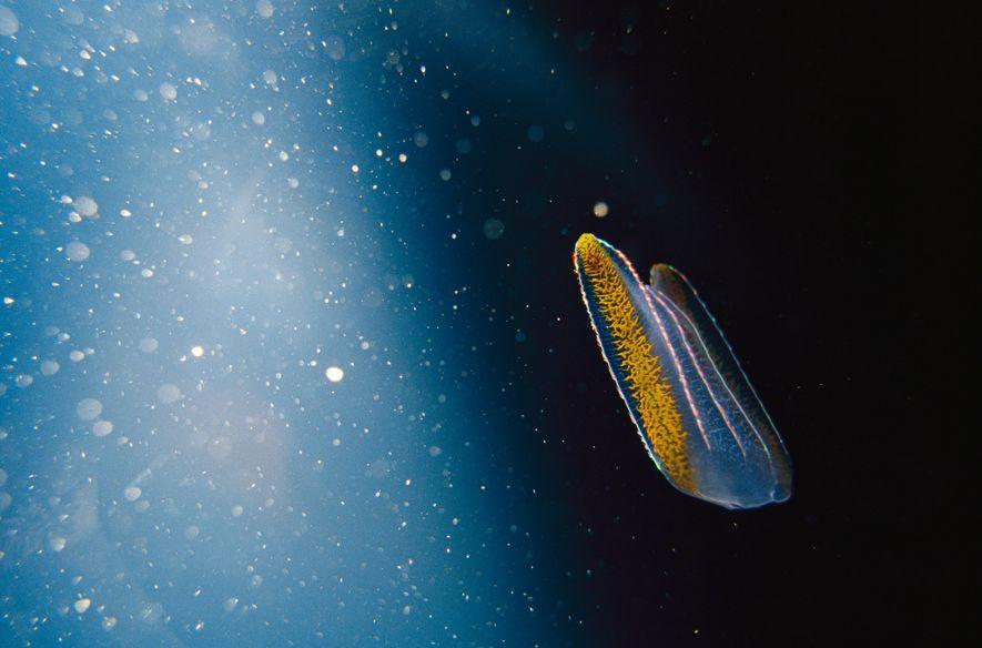 Die Biolumineszenz von Quallen wie dieser Rippenqualle bot Wissenschaftlern ein Werkzeug für eine bessere Erforschung der ...