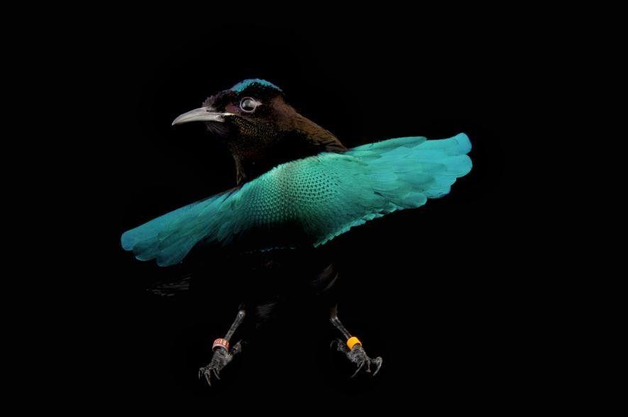 Ein Paradiesvogel wackelt mit dem Federkleid.