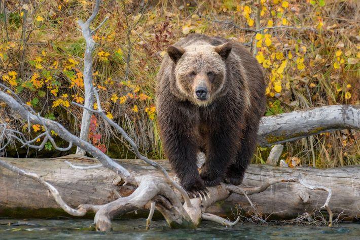 Der Chilko River ist ein erstklassiger Ort zum Beobachten von Grizzlybären. Vor allem im Spätsommer und ...