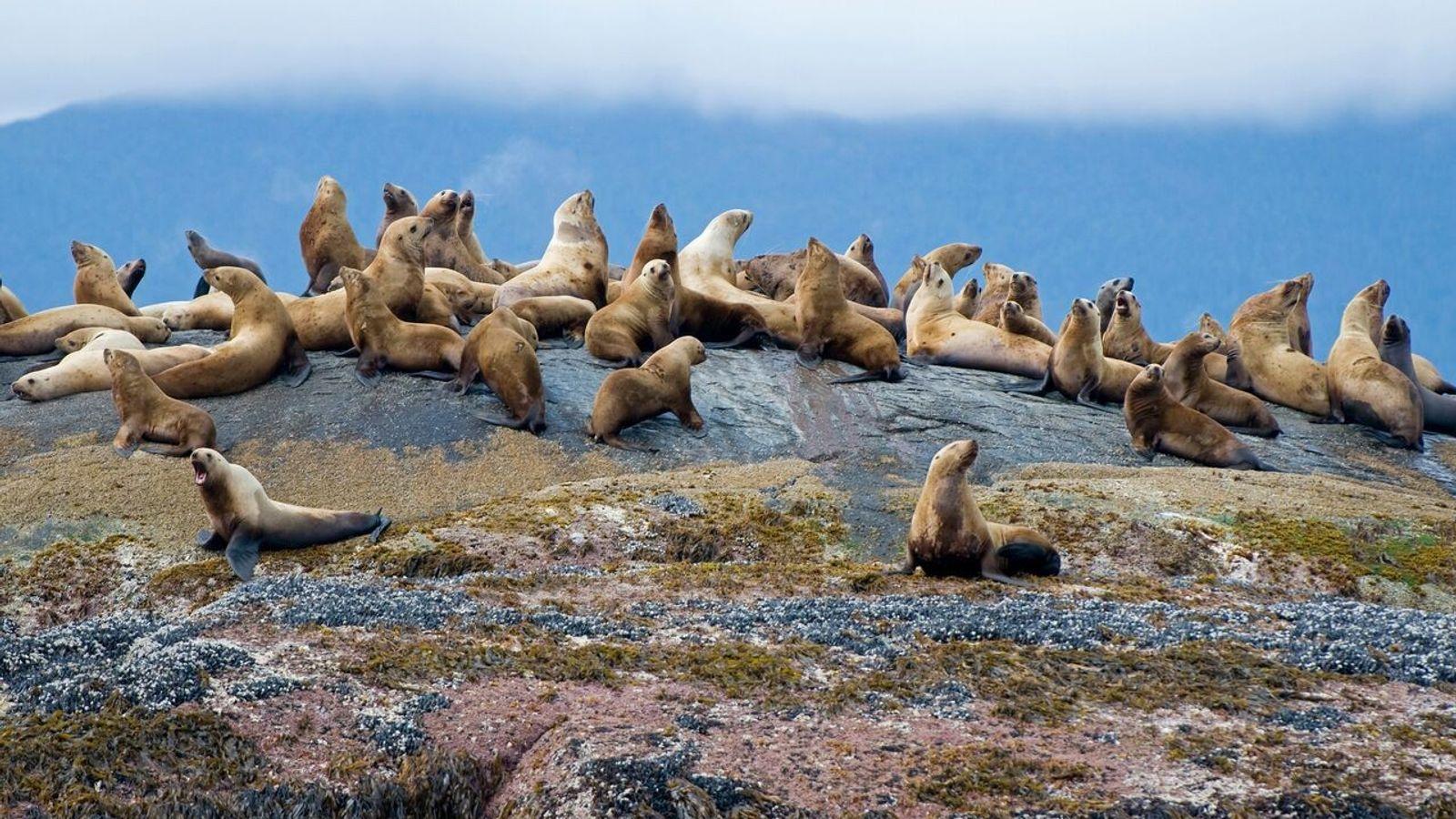 Eine Seelöwen-Kolonie rastet auf einem Felsen im Gwaii-Haanas-Nationalpark.